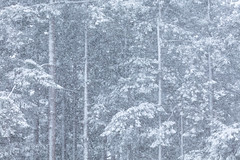 Victoria Snow Days 7 (josullivan.59) Tags: 2019 artistic bc britishcolumbia canada february tamron150600 vancouverisland victoria day detail forest nature outdoor outside overcast scenic snow telephoto texture trees wallpaper white winter woods governmenthouse snowstorm