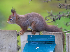'Cyril' the red squirrel (Dave Russell (1.3 million views thanks)) Tags: red squirrel animal rodent nature wild life wildlife photo photograph garden lagg kilmory isle island arran clyde western scotland outdoorcanon eos eos7d 7d photography