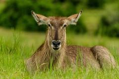 Just sitting.... (lyn.f) Tags: female waterbuck kobusellipsiprymnus choberiver botswana antelope grazer mammal african safari