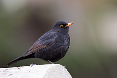 Common Blackbird - Amsel (rengawfalo) Tags: turdusmerula commonblackbird amsel bird birder birding natur nature wildlife animal vogel vögel wood outdoor tier tiere