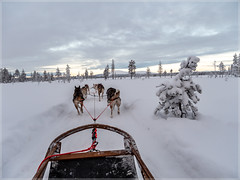 DogSledge_93298 (uwe_cani) Tags: panasonic g9 finnland finland skandinavien scandinavia lappland lapland ylläs winter schnee snow natur nature outdoor landschaft landscape bäume trees hunde dogs husky huskies schlitten sledge hundeschlitten dogsledge