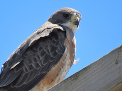 Swainson's  Hawk (Patricia Henschen) Tags: swainsonshawk swainsons hawk raptor birdofprey alamosa alamosanationalwildliferefuge colorado perch sanluisvalley nationalwildliferefuge