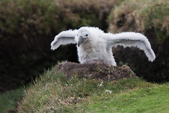 """spread your tiny wings...."" (Tim Melling) Tags: blackbrowed albatross thalassarche melanophris saunders island falkland islands chick timmelling"