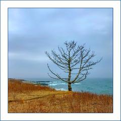 Sentinel (Timothy Valentine) Tags: ocean 0319 large clichésaturday sky seashore 2019 tree middletown rhodeisland unitedstatesofamerica us