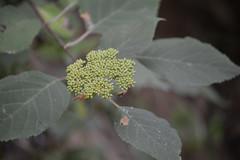Amicalola Falls State Park (lwgeiger) Tags: amicalola flora hydrangea