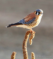 December 21, 2018 - A male American Kestrel hanging out. (Bill Hutchinson)