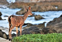 April2Image9795 (Michael T. Morales) Tags: deer ptpinos pacificgrove montereybay nature muledeer