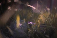 Down Under (ursulamller900) Tags: pentacon3530 mygarden daisy bokeh grass gänseblümchen