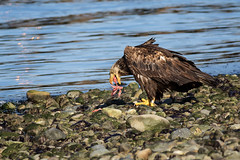Bald Eagle in Campbell River, British Columbia (Anne McKinnell) Tags: haliaeetusleucocephalus juvenilebaldeagle animal baldeagle bird britishcolumbia campbellriver juvenile wildlife