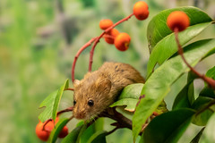 harvest mouse (2) (colin 1957) Tags: harvestmouse mouse
