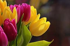 Nice and Bright (abrideu) Tags: abrideu canoneos100d tulip flowers macro depthoffield bright bokeh yellow purple flower ngc npc
