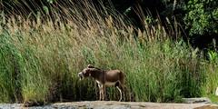 Unhappy Donkey, Wadi Tiwi, Oman. (rosskevin756) Tags: nikon d850 nikkor 80400