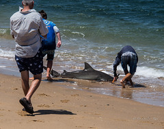 They caught a shark !! (idunbarreid) Tags: fishermen shark beach