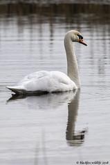 neck and neck (blackfox wildlife and nature imaging) Tags: nikon d300s sigma150600c birds burtonmerewetlands rspb wirral