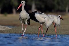 The family ciconia (Alberto GS) Tags: ciconia cigueña aves birds extremadura