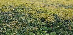 Very Wide Privet Hedge (standhisround) Tags: fabulousfoliage foliage leaves privet privethedge royalbotanicalgardens rbg kewgardens kew green yellow london england uk kewpalace queencharlottesgarden