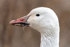 Portrait of a Snow Goose (tresed47) Tags: 2019 201901jan 20190128bombayhookbirds birds bombayhook canon7dmkii content delaware folder goose january peterscamera petersphotos places season snowgoose takenby us winter