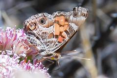 American Lady (Laurie Paulik) Tags: americanladies arizona butterflies maderacanyon
