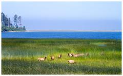 Roosevelt Elk (thuygiaho) Tags: biglagoon elk redwood northerncalifornia coasts ocean sea lagoon highway101