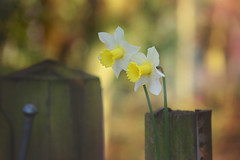 Spring Mornings... (KissThePixel) Tags: dofalicious depthoffield dof dreamy daffodil daffodils flower flowers yellow white gold green fence tree woodland nature beauty beautiful beautifulday morning walk nikon nikond750 bokeh bokehlicious spring march happiness softbokeh goldenbokeh macro makro closeup woodenfence 70200mm sigma sigma70200mm
