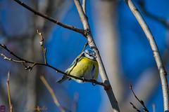 My fat friend (real.jtj) Tags: bird birds fågel fåglar wildlife nature natur woods skogen