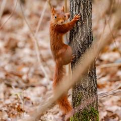 Red squirrel (Eric KAROUTCHÉ) Tags: squirrel redsquirrel ecureuil woods boisdevincennes forest foret wildlife eosr ef100400mm nature