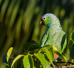 Red-lored Parrot (trekok, enjoying) Tags: c31a5585abest parrot redlored rica costa