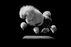 Ava (Alexandremqs) Tags: explore jump agility monochrome moment yourbestoftoday beautiful breed poodle stunnig blackwhite dogs feeling coat action natural light pose portrait portugal pets photography photoshoot perro simply