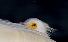 Eye of the Pelican (agnish.dey) Tags: bird birding birdwatching bokeh pelican naturallight nature naturephotograph nikon naturethroughthelens florida animalplanet d500 coth wildlife eye