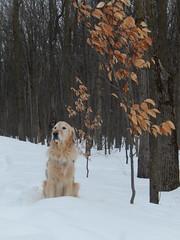Sunny 11/52 (Lianne (calobs)) Tags: 52 weeks for dogs goldenretriever