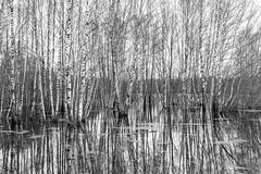 DSC_6709 (stefanh.varberg) Tags: 16mars oklången björk björkar landsbygd landskap sjö skogen spegling svartvit träd vatten översvämmning