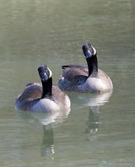 goose tilt (foxtail_1) Tags: g9 canadagoose goose geese panasonicg9 lumixg9 brantacanadensis