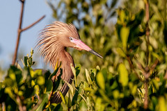 Reddish Egret Closeup (dbadair) Tags: outdoo nature wildlife 7dm2 ef100400mm ocean canon florida bird