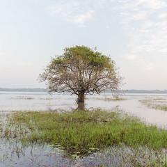 Lone Tree love 2 (Chamikajperera) Tags: srilanka landscape tree water reflections lone anuradhapura ceylon