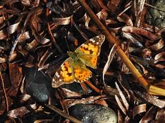 butterfly on the beach (panoskaralis) Tags: butterfly colors colorfull insectmacro macro insect bugs spring lesvos lesvosisland mytilene greece greek hellas hellenic nature greekisland greeknature nikoncoolpixb700 nikon nikonb700