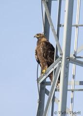 golden eagle (Pattys-photos) Tags: golden eagle pattypickett4748gmailcom pattypickett