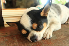 Sleeping dog (Victor Lee's) Tags: dog cute taiwan 狗