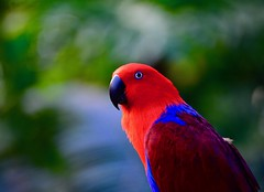 _DSC7075 Ruby eclectus parrot (christinachui79) Tags: outdoorphotography outdoor songbird red rubyeclectusparrot naturephotography wildlifephotography flickrnature birdphotography parrot bird birds parrots wildlife nature colourful beautiful nikon d750 bokeh