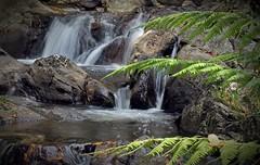 Paddy's Falls in the Autumn (cupitt1) Tags: waterfall fern bracken autumn creek brook stream barringtontops mountains highcountry