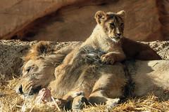 AAPEL with one of his daughters (K.Verhulst) Tags: aapel youngasiaticlion asiaticlions asiaticlion lions leeuwen cats blijdorp blijdorpzoo diergaardeblijdorp rotterdam