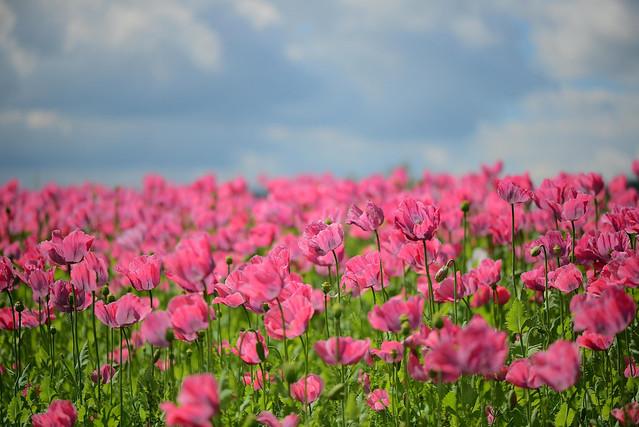 Обои поле, природа, маки, боке картинки на рабочий стол, раздел цветы - скачать