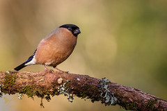 Bullfinch ♀️ (ABPhotosUK) Tags: animals birds bullfinch canon dartmoor devon ef100400mmisii eos7dmarkii female finches fringillidae garden nocrop pyrrhulapyrrhula seasons wildlife winter winterwatch