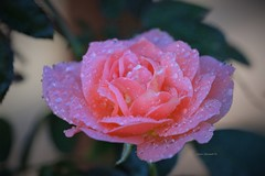 Happy Sunday! (Anton Shomali - Thank you for over 2 million views) Tags: photo photography macro single one 1 flower nature rose wet morning rainy day love symbol wonders raining beautiful garden backyard flowers fine art cool color flickr beauty droplets drops weather season colours colors rain say goodbye summer pink sony slta77v happysunday remembering memory past