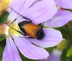 Nectar Scarab (WinRuWorld) Tags: phyllotocus beetle coleoptera scarabaeidea insect arthropod invertebrate fauna animal summer outdoors garden fairyfanflower scaevolaaemula hexopod australia nsw newsouthwales canon canonphotography macro macrophotography petal flower scarab