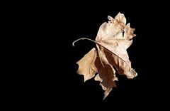 SANT MARTÍ DE LLÉMENA - FULLA SECA (Joan Biarnés) Tags: santmartídellémena gironès 299 panasonicfz1000 macro fullas hojas explore
