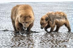 _HB31698 (Hilary Bralove) Tags: lakeclarknationalparkbrownbearsbearsalaskanikonwildlifegrizzlygrizzlybearbrownbearanimalswildlifephotographer alaksa brownbears grizzlybears bear bears grizzly brownbeargrizzly bearlake clarkwildlifealaska wildlifenikonlake clark national park
