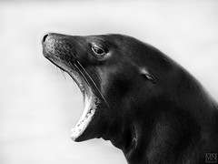 noisy brat (MAICN) Tags: sealion zoo bw gelsenkirchen blackwhite monochrome zoom zoomgelsenkirchen schwarzweis seelöwe mono animals einfarbig 2019 tiere sw