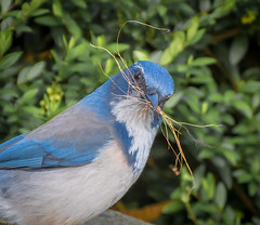 Working out. (Omygodtom) Tags: wildlife bird blue scrubjay outside oaksbottom nikon70300mmvrlens d7100 dof nature natural nikkor