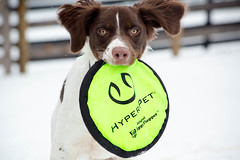 Wyatt's First Flippy Flopper (rlgidbiz1) Tags: brittanyspaniel pup flippyflopper play snow nbran rescue white