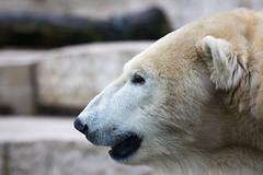 Polar bear (Cloudtail the Snow Leopard) Tags: eisbär bär tier polar bear mammal säugetier animal polarbär beutegreifer raubtier predator ursus maritimus zoo stadtgarten karlsruhe